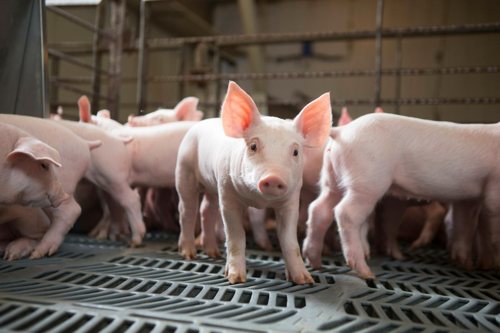 group of young pigs in a barn